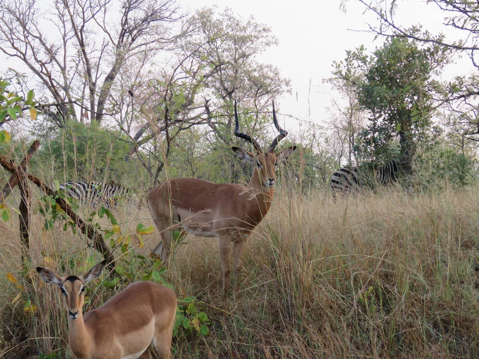 Resized Gazelle (1)